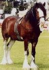 The Clydesdale