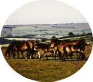 A group of Exmoor ponies